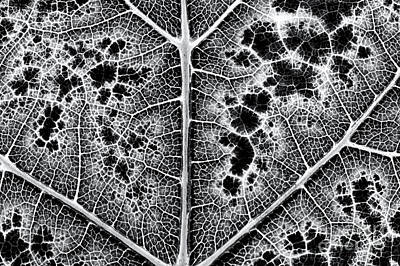 Grape Leaf Monochrome Print by Tim Gainey