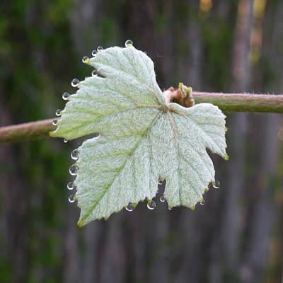 Photograph - Grape Leaf Tears by rd Erickson