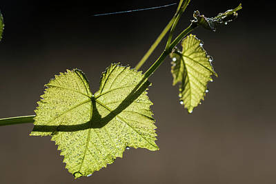 Photograph - Grape Leaves And Dew by Robert Potts