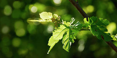 Photograph - Grape Leaves In Spring by Francesa Miller