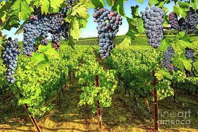 Photograph - Grape Plantation Napa Valley by Benny Marty