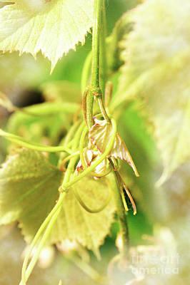 Grape Vine 2 Art Print by Janie Johnson
