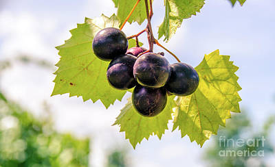 Photograph - Grape Vine 6 by Andrea Anderegg