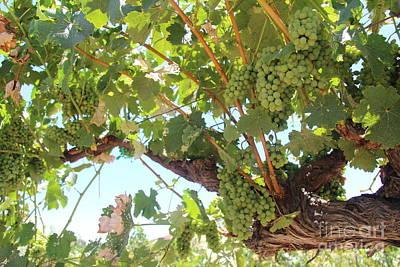 Napa Photograph - Grape Vine by Anthony Jones