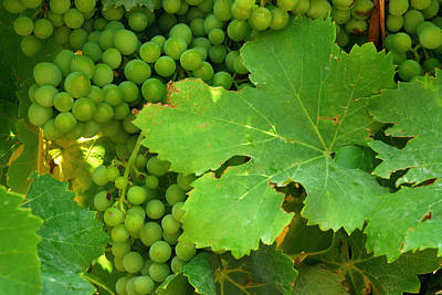 Grape Leaves Photograph - Grape Vine Heavy With Green Grapes by Anne Keiser