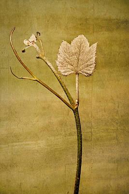 Artistic Photograph - Grape Vine by Marcia Colelli