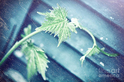 Photograph - Grape Vine Old Style Background by Anna Om