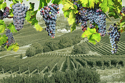 Photograph - Grape Wineland Countryside by Benny Marty