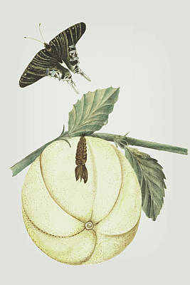Mixed Media - Grapefruit With Leaves Caterpillar And Butterfly By Cornelis Markee 1763 by Cornelis Markee