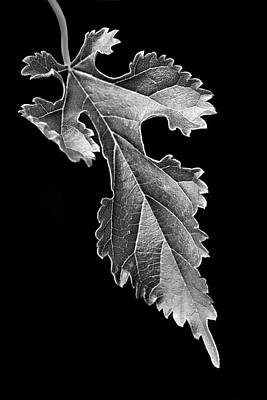 Photograph - Grapeleaf Anemone by Nikolyn McDonald