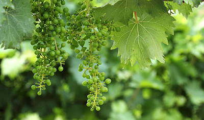 Winery Photograph - Green Bunches by Brian Manfra