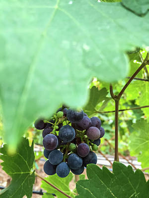 Photograph - Grapes 4 by Jonathan Nguyen