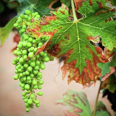 Grapes Photograph - Grapes And Grape Leaves by Go Inspire Beauty