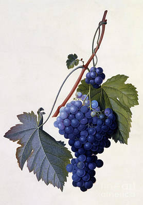 Leaf Drawing - Grapes by Georg Dionysius Ehret