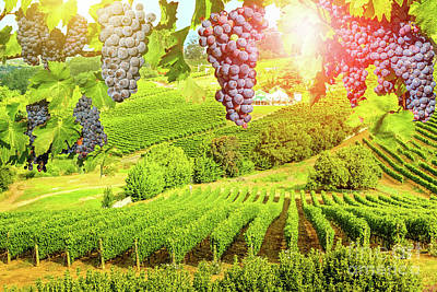 Photograph - Grapes Hanging In Vineyard by Benny Marty