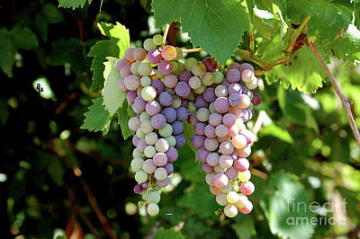 Photograph - Grapes In Color  by Frank Stallone