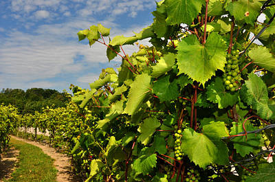 Photograph - Grapes In The Michigan Vineyard by Diane Lent
