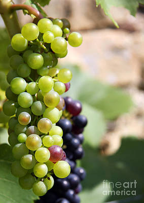 Grape Leaves Photograph - Grapes by Jane Rix