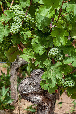Alsatian Wall Art - Photograph - Grapes Of Alsace by W Chris Fooshee