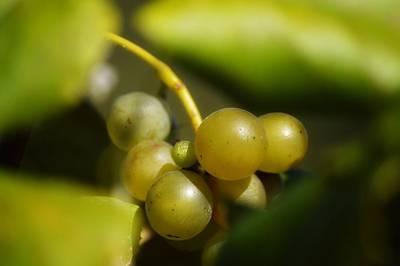 Photograph - Grapes Of Kentucky  by Joseph Caban