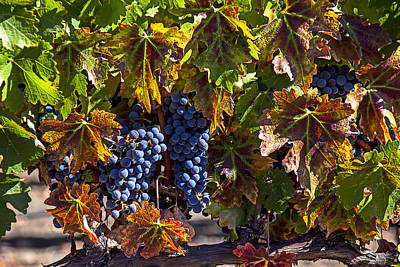 Grape Leaves Photograph - Grapes Of The Napa Valley by Garry Gay