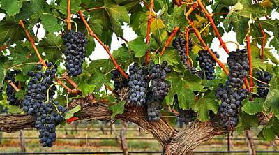Concord Grapes Photograph - Grapes Of The Yakima Valley by Lynn Hopwood