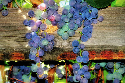Photograph - Grapes On The Vine by Donna Kennedy