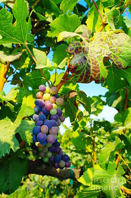 Blue Grapes Photograph - Grapes On The Vine  by Jeff Swan