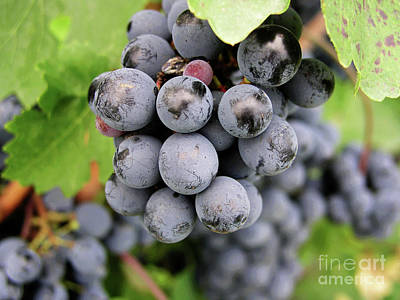 Photograph - Grapes On The Vine by Mary Capriole