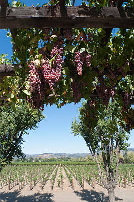 Cellar Photograph - Grapes On The Vine Napa Valley California by George Oze