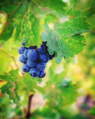 Purple Grapes On The Vine - Napa Valley Art Print