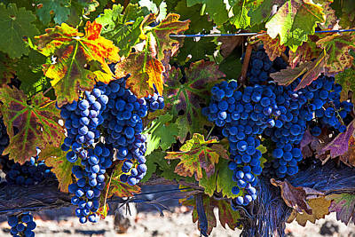 Of Autumn Photograph - Grapes Ready For Harvest by Garry Gay