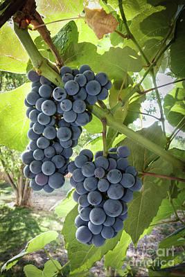 Photograph - Grapes by Robert Bales