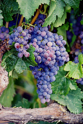 Photograph - Grapes by Sandy Adams