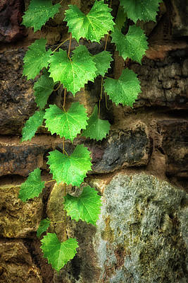 Photograph - Grapevine On Wall by James Barber