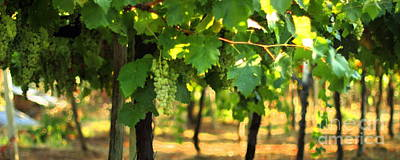 Photograph - Grapevines 3 by Angela Rath