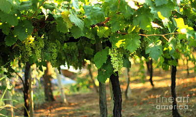 Photograph - Grapevines 5 by Angela Rath