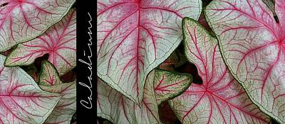 Photograph - Graphic - Caladium by Patricia Strand