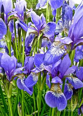 Photograph - Graphic Irises by Tim Good