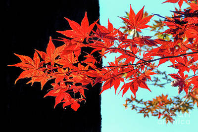 Japanese Maple Photograph - Graphic Leaves by Delphimages Photo Creations