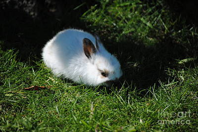 Photograph - Grass And A Bunny by TChamberlin Photography