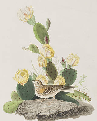 Bunting Painting - Grass Finch Or Bay Winged Bunting by John James Audubon