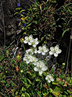 Photograph - Grass Of Parnassus And Bottle Gentian by Joe Duket