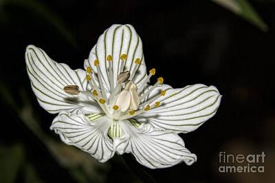 Photograph - Grass Of Parnassus by Barbara Bowen