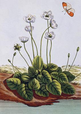 Bog Wall Art - Painting - Grass Of Parnassus by Pierre-Joseph Buchoz