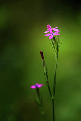 Photograph - Grass Pink by Linda Shannon Morgan