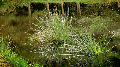 Photograph - Grass Sedge In The Forest Pond. by Elena Perelman