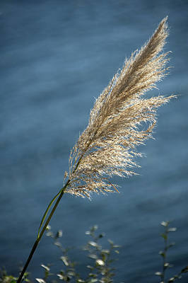Photograph - Grass Seed Head by Chris Day