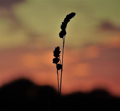 Photograph - Grass Seedhead Sunset Silhouette by Susan Baker