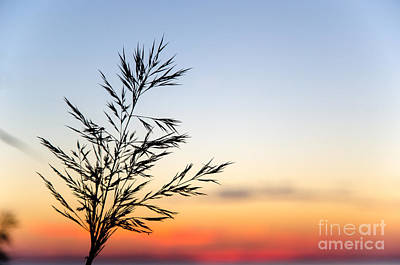 Photograph - Grass Straw At Sunset by Kennerth and Birgitta Kullman